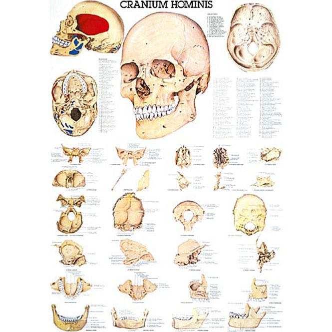 Der menschliche Schädel